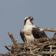 Birding By Boat on the Osprey