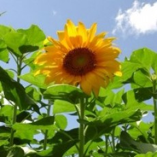 Spring Hill, FL Events for Kids: Sunflower Maze & Farm Activities