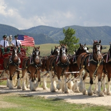 Budweiser Clydesdales Visits