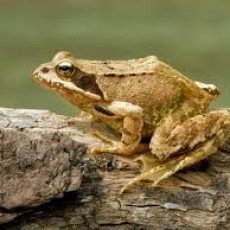 Become a Frogwatcher