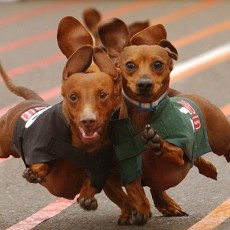 Things to do in Austin West, TX: 22nd Annual Buda Weiner Dog Races