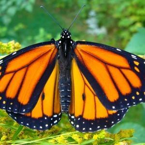 Leominster-Lancaster, MA Events for Kids: Helping Wildlife: Monarch Butterflies