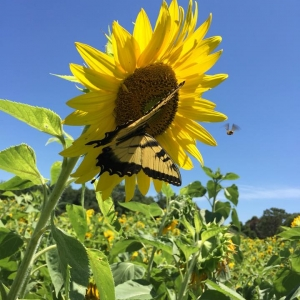 Things to do in Spring Hill, FL for Kids: Sunflower Maze at HarvestMoon Fun Farm, Harvestmoon Farm