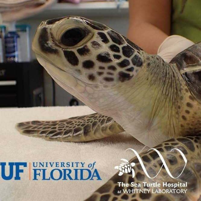 The Sea Turtle Hospital at UF Whitney Lab: T = Tour